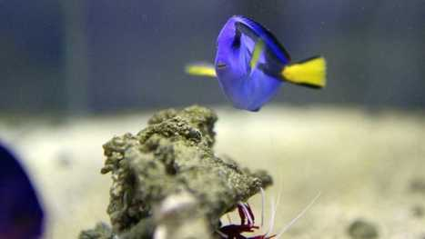 After 'Finding Dory,' scientists present farming Dory | Aquaculture Directory | Scoop.it