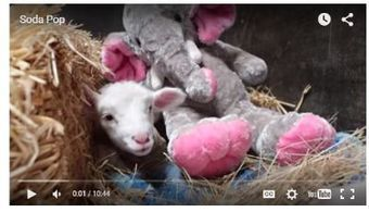 Weekly Heart Opener: Where There is a Will, There is a Way for Soda Pop the Little Lamb | Eileen Anglin | Compassion in Action | Scoop.it