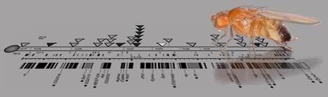Un article sur le séquençage du génome de la drosophile cosigné par plus de mille auteurs | EntomoNews | Scoop.it