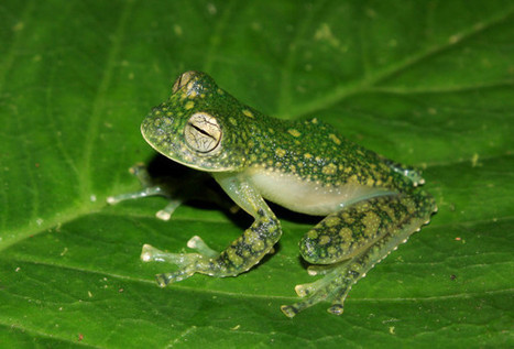 See-Through Frogs With Green Bones Discovered in Peru | Paneco Press: Species Watch | Scoop.it