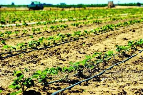 Harvesting dreams: Report draws on strawberry farming's role in immigration ... - Stockton Record | City farming | Scoop.it