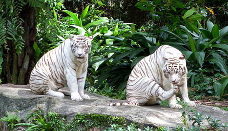 The Singapore Zoo | An Example of Respect | Singapore Attractions | Scoop.it