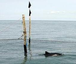 Harbor porpoises can thank their worst enemy for their success | Sustain Our Earth | Scoop.it