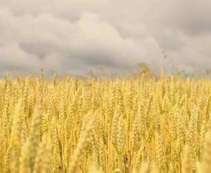 Quand les OGM font pschitt : le bilan poussif de 15 ans de cultures aux USA | Toxique, soyons vigilant ! | Scoop.it