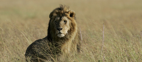 Lion hunting in Tanzania: Getting away with murder? | Kruger & African Wildlife | Scoop.it