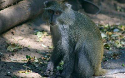 Observing Endangered Samango Monkeys in iSimangaliso Wetland Park | Monkeys and Apes | Scoop.it