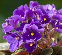 L'huile essentielle de violette odorante | Huiles essentielles HE | Scoop.it