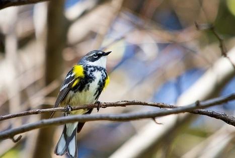 """Audubon's Warbler """"Borrowed"""" DNA to Fuel Bird Migration   Birds   Scoop.it"""