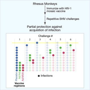 Protective Efficacy of a Global HIV-1 Mosaic Vaccine in Rhesus Monkeys | Virology and Bioinformatics from Virology.ca | Scoop.it