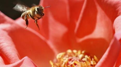 Les abeilles en danger de disparition (et l'humanité par la même occasion) : état des lieux des dernières connaissances scientifiques | Toxique, soyons vigilant ! | Scoop.it