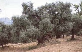 OLIVE FARMING, OLIVE OIL AND OLIVES IN SPAIN | farming ks2 | Scoop.it
