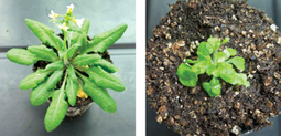 Tiny genes orchestrate plant shape - Research Highlights - RIKEN RESEARCH | Plant Gene Seeker -PGS | Scoop.it