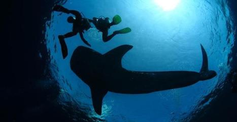 GoPro : Plongée en apnée avec un requin baleine | meltyXtrem | Requins | Scoop.it