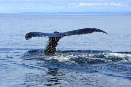 À la recherche de « 52 Hz », la baleine la plus mystérieuse du monde | Science en tête | Scoop.it