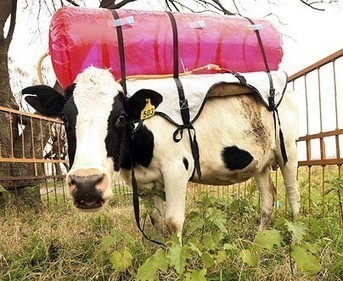 Cow farts collected in plastic tank... | Carbon Farming | Scoop.it