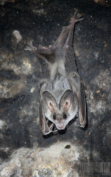 25 of the cutest bat species | Wildlife and Environmental Conservation | Scoop.it