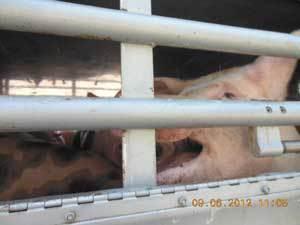 Des cochons transportés durant plus de 36 heures de l'Espagne vers la Sicile... | LYFtv - Lyon | Scoop.it