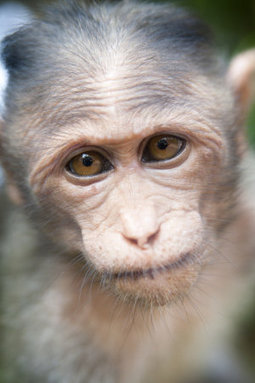 First test of pluripotent stem cell therapy in monkeys is successful | Stem cells | Scoop.it