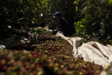 Coffee Posts Longest Slump Since 1972 on Brazil Supply Outlook - Bloomberg | Microeconomic news for A-level students | Scoop.it