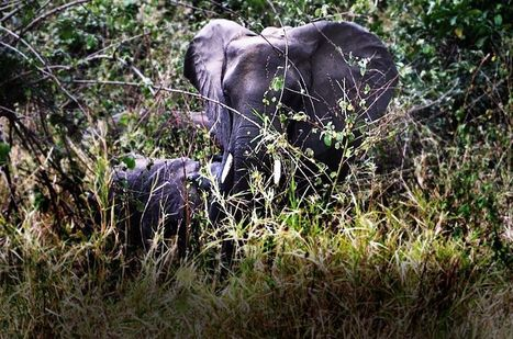 Mozambique Moves to Make Elephant Poachers an Endangered Species | Sustain Our Earth | Scoop.it