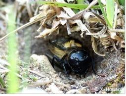 Grillons, criquets, sauterelles : à vos oreilles et à vos filets ! | Observatoire francilien de la biodiversité | Variétés entomologiques | Scoop.it