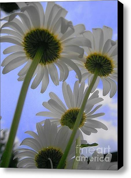 Daisies From Down Under Stretched Canvas Print / Canvas Art By Marisa Horn | Wall Art | Scoop.it