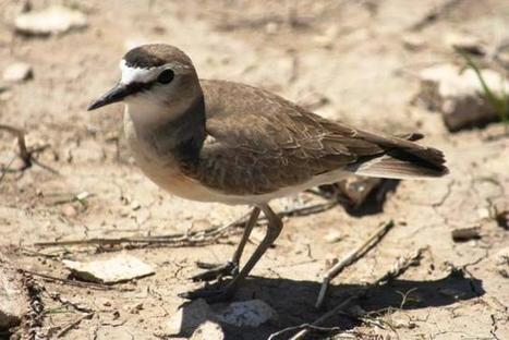 Mountain Plover Festival offers look at ranching on Colorado's plains   Birding in the news   Scoop.it
