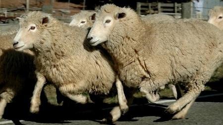 Las ovejas podrán mandar SMS cuando les ataque algo | Hey baby que pasó | Scoop.it