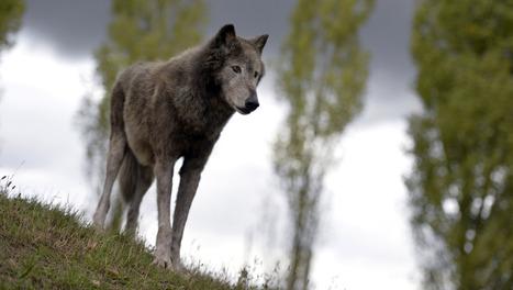 Faut-il élargir la chasse au loup? | Chasse dans le Nord... et ailleurs | Scoop.it