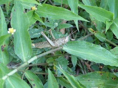 Photo d'Orthoptère : Criquet du Panama - Insectes du Panama - Insecte - Criquet - Crickets - Cricket   Fauna Free Pics - Public Domain - Photos gratuites d'animaux   Scoop.it