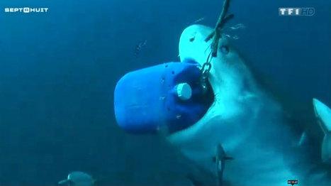 Ce passionné de requins plonge sans protection au milieu des ... - TF1 | Requins en Péril | Scoop.it