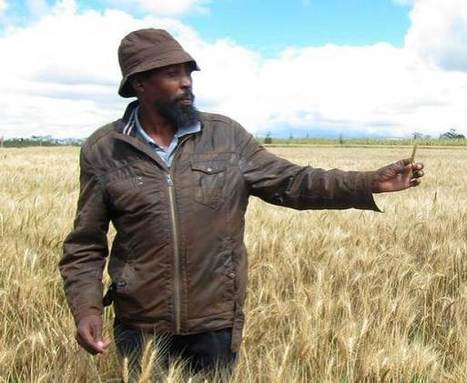 Scientists share strategy to halt migratory wheat disease | WHEAT | Scoop.it