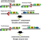 Plant genome editing by novel tools: TALEN and other sequence specific nucleases | genome editing | Scoop.it