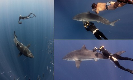 Biologist swims with great white shark, wearing just his speedos   All about water, the oceans, environmental issues   Scoop.it