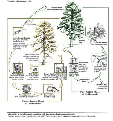 Pine Wilt Disease | plant resistance | Scoop.it