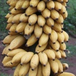10 reasons why you should start eating bananas  everyday | Resilient and Adaptation. | Scoop.it