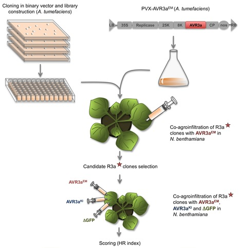 MPMI: Single amino acid mutations in the potato immune receptor R3a expand response to Phytophthora effectors (2014) | Publications from The Sainsbury Laboratory | Scoop.it