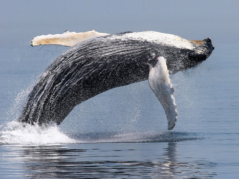 Rebounding whale populations are good for ocean ecosystems | Liv & Røre | Scoop.it