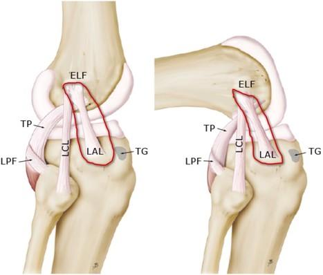 Un nouveau ligament dans le genou! | 16s3d: Bestioles, opinions & pétitions | Scoop.it