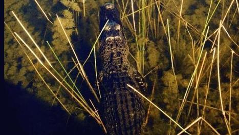 Illegal alligator poaching at local preserve - WPEC | Impact on Wildlife | Scoop.it