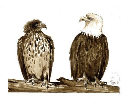 A case of awkward adolescent eagles | GarryRogers Biosphere News | Scoop.it
