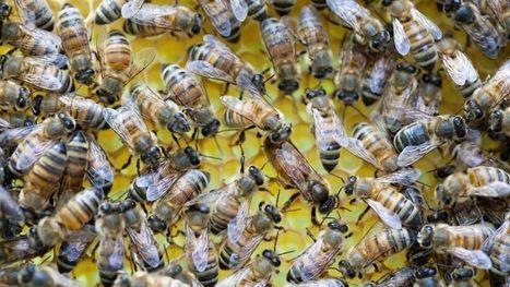 Les reines des abeilles ne cachent rien de leurs amours | EntomoNews | Scoop.it