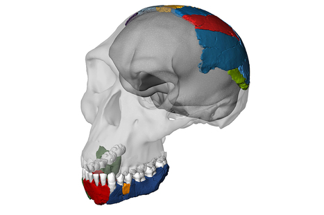 The skull that chews up theories of human ancestry | New Scientist | Kiosque du monde : A la une | Scoop.it