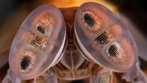 L'étonnante vision des couleurs de la crevette-mante | EntomoNews | Scoop.it