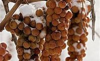 Bitter Cold This Winter Brings Ideal Ice Wine Season | Grande Passione | Scoop.it