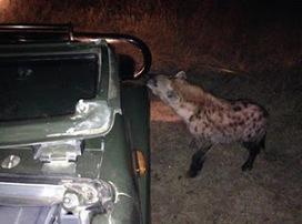 Kruger Park Sightings: Hey That's Our Car   Kruger & African Wildlife   Scoop.it