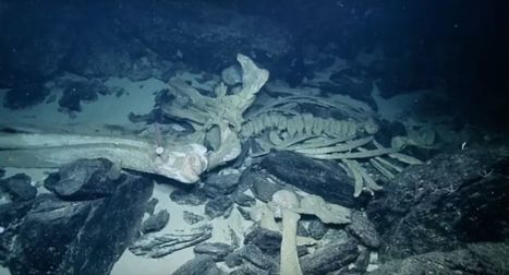 Rare 'whale fall' spotted by deep-sea scientists | Fox News | ScubaObsessed | Scoop.it