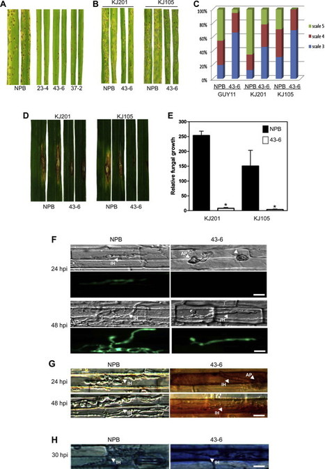 Repression of microRNA biogenesis by silencing of OsDCL1 activates the basal resistance to Magnaporthe oryzae in rice | Emerging Research in Plant Cell Biology | Scoop.it