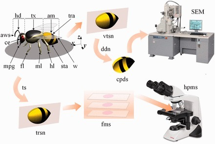 The Folded Intersegmental Membrane is a Critical Structure for Telescopic Movement of Honey bees | Organic Farming | Scoop.it
