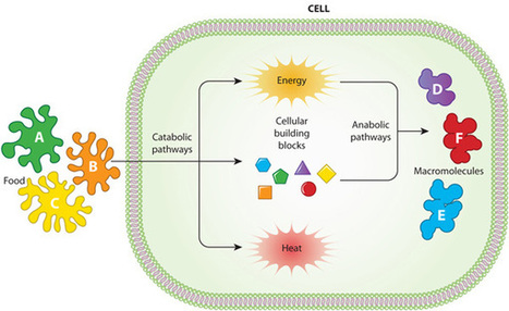 Cell Metabolism | Learn Science at Scitable | Medicine | Scoop.it